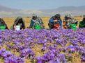افغانستان کې د زعفرانو کښت